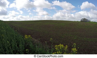 spring wheat field with sprouts - spring time wheat field...