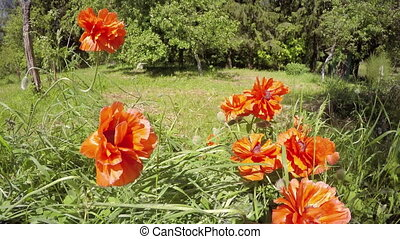 beautiful spring poppy blossoms in farm garden and wind....