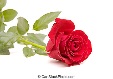 red rose isolated on white. valentine\'s day