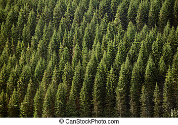 Forrest - Teleview of of green forrest fir trees on a...