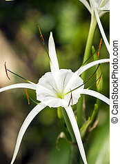 White lily like flower, Spider lily - White lily like flower...