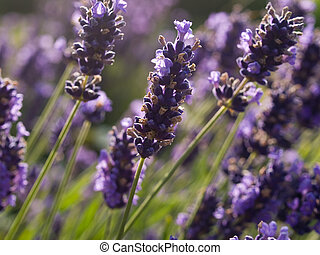 Lavender flowers in France - Closeup of Lavender flowers in...