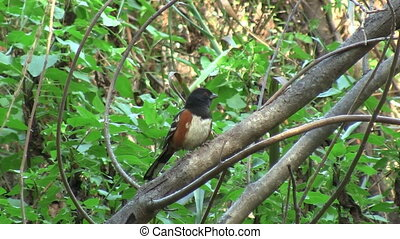 Spotted Towhee California Chaparral - Spotted Towhee in...