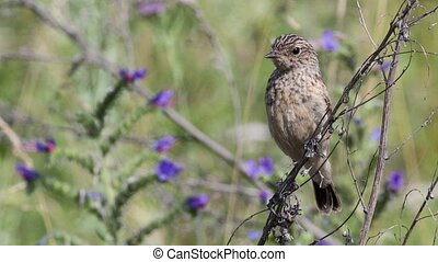 Fledgling stonechat sitting on a branch