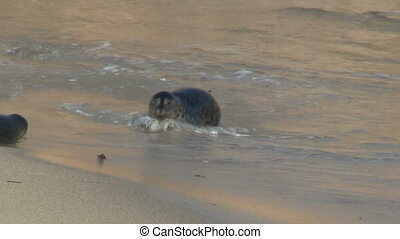 Wild Seals Hopping On Beach - Wild Seals hopping on beach