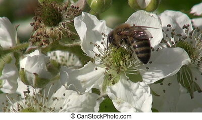 blackberry (Rubus caesius) blossoms and summer honey bee...