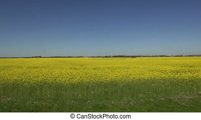blossoming yellow field - beautiful spring blossoming yellow...