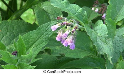 medical herb comfrey - beautiful blosoming medical herb...