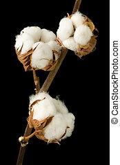 Cotton plant against black - Natural stem of cotton flowers...