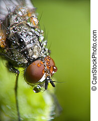 Fly  home on leaf in morning\'s dew