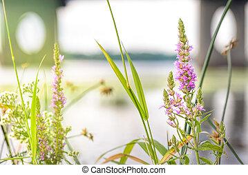 Lythrum Salicaria - Lythrum salicaria flower close to the...