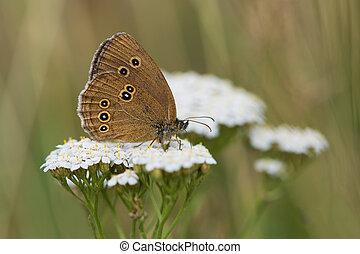 Ringlet (Aphantopus hyperantus) Butterfly - Ringlet...