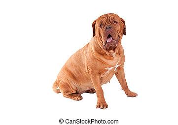 Female  dog - Dogue de bordeaux with an open mouth