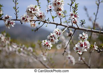 Almond flower trees field pink white flowers - Almond flower...