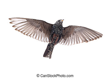 Starling in flight on a white background Studio