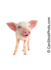 smile pig on a white background
