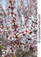 Almond flower trees field in spring season