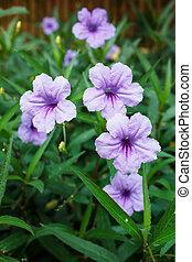 Purple flowers or Ruellia tuberosa Linn - Purple flowers or...