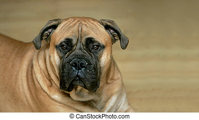 fawn bull mastiff - one fawn colored bull mastiff headshot...