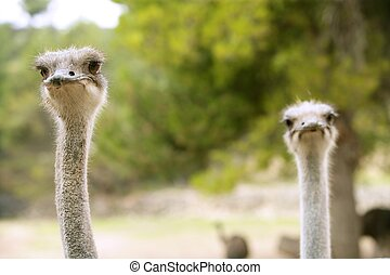 Ostrich portrait outdoor forest green trees background