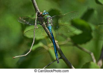 Blue dragonfly eats caught cicada - Blue dragonfly sitting...