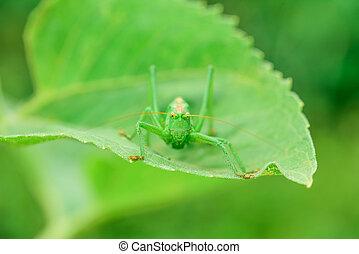 Gafanhotos, verde,