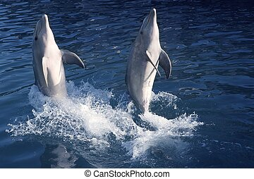 Dolphin acrobacy during dolphins show in Caribbean sea,...