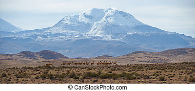 Group of Vicuna on the Altiplano - Large group of vicuna...