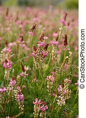 Beautiful Vicia Tinctoria pink flower plant used for natural...