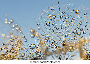 Dewy dandelion flower close up
