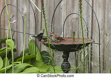 Bird In A Bird Bath - Sparrow bird gets its feathers soaked...