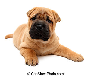 shar pei puppy dog isolated on white