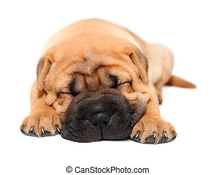 Shar, PEI, szczeniak, pies, spanie