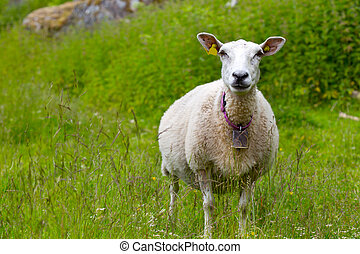ewe with lamb close-up, norway