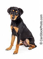 Cute Rottweiler Crossbreed Puppy Dog Sitting