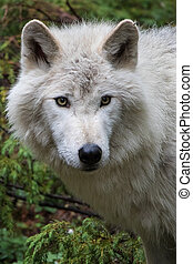 Dave 7036 - Grey wolf in the mountains near Golden, British...