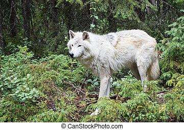 Dave 7058 - Grey wolf in the mountains near Golden, British...
