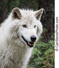 Dave 7178 - Grey wolf in the mountains near Golden, British...
