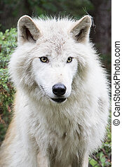 Dave 7186 - Grey wolf in the mountains near Golden, British...