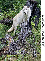Dave 7424 - Grey wolf in the mountains near Golden, British...