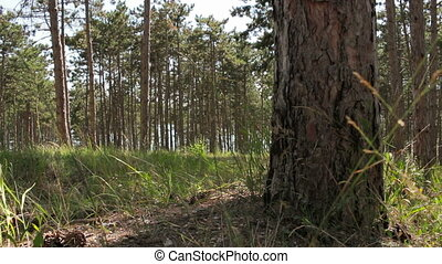 landscape of quiet summer forest - the walk in the forest in...