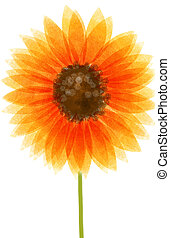 sunflower - drawing of an orange sunflower isolate in white...