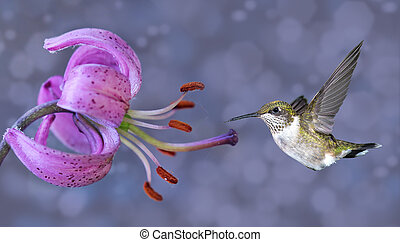 Annas Hummingbird in Flight - Hummingbird (archilochus...