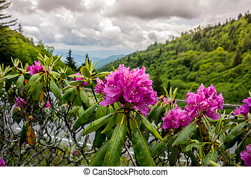 Rhododendron in early summer - Brilliant purple rhododendron...