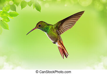 Hummingbird in Flight - Hummingbird (archilochus colubris)...