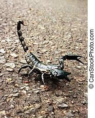 aggresive scorpion on the street