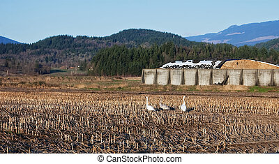 Three Trumpeter Swans in Field