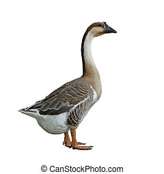 domestic goose on white background - domestic goose isolated...