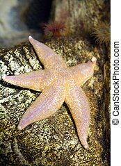 The common sea star (Asterias rubens) is the most common and...