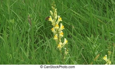 Yellow Toadflax linaria vulgaris blooming in grassland...